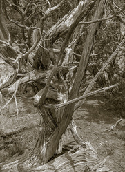 Twisted Tree, Ghost Ranch, New Mexico, USA  2014